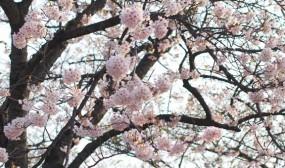 葉の出ていない桜の木を見つけました。